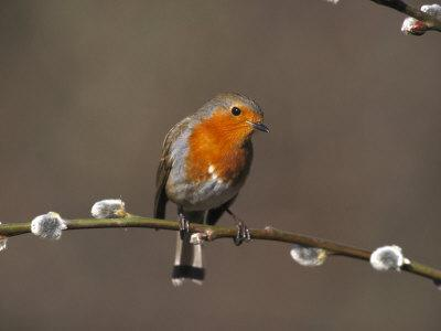 Robin, Perched on Pussy Willow, UK-Mark Hamblin-Photographic Print