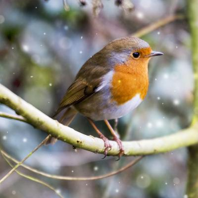 Robin Perched on Willow Branch Slimbridge--Photographic Print
