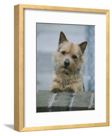A Norwich Terrier Looks over a Brick Wall