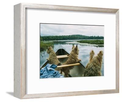 Norwich Terriers Enjoy a Canoe Ride on Lake Kezar