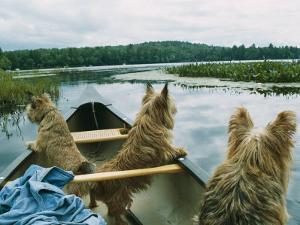 Norwich Terriers Enjoy a Canoe Ride on Lake Kezar by Robin Siegel