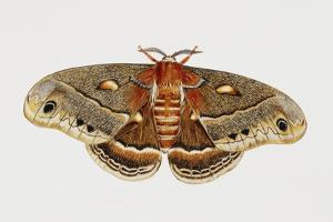 Robin Silkmoth or Cecropia Moth (Hyalophora Cecropia), Saturniidae, Artwork by Brin Edward