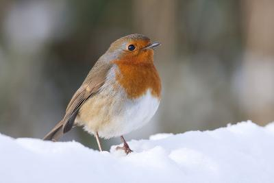 Robin Single Adult Robin Perching in the Snow--Photographic Print