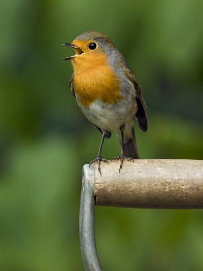 Robin Sitting on a Garden Fork Handle Singing, Hertfordshire, England, UK-Andy Sands-Photographic Print