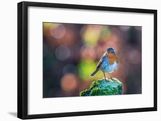 Robin Standing on an Ice Covered Mossy Post with Bright Circular Bokeh-Toby Gibson-Framed Photographic Print