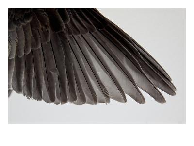 Robin Wing-Judy Tuwaletstiwa-Premium Giclee Print