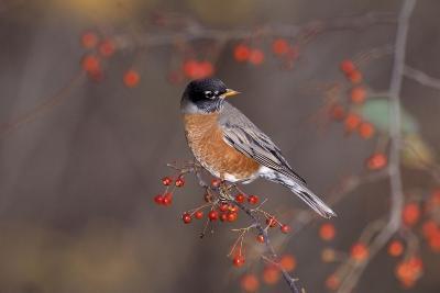 Robin--Photographic Print