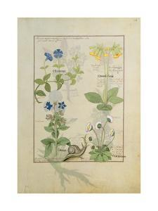 Ms Fr. Fv VI #1 Fol.114 Top Row: Blue Clematis or Crowfoot and Primula. Bottom Row: Borage or… by Robinet Testard