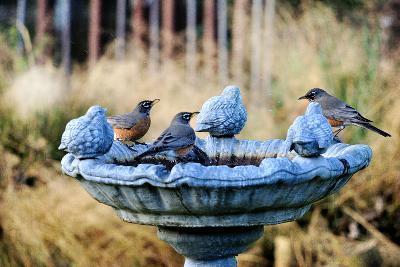 Robins on Birdbath-Barbara Rich-Photographic Print