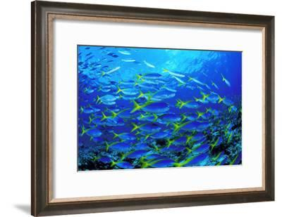 Robust Fusilier Fish-Matthew Oldfield-Framed Photographic Print