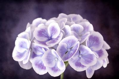 Purple and White Hydrangea Flower, with Grunge Effects.