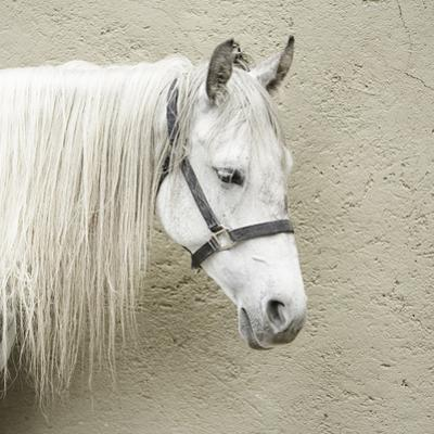 White Horse by Roc Canals Photography