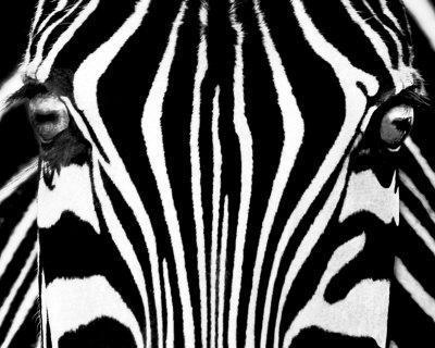 Black & White I (Zebra)