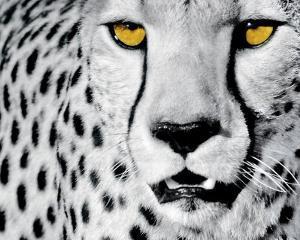 White Cheetah by Rocco Sette