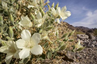 Rock Nettle in Bloom, Death Valley National Park, California-Rob Sheppard-Photographic Print