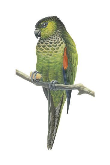 Rock Parakeet (Pyrrhura Rupicola), Birds-Encyclopaedia Britannica-Art Print