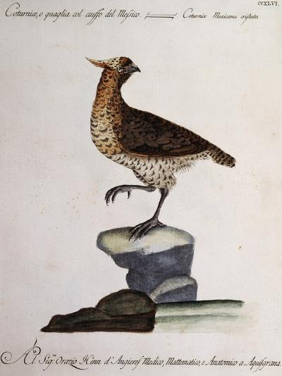 Rock Partridge or Crested Quail from Mexico (Coturnix Mexicana Cristata)--Giclee Print