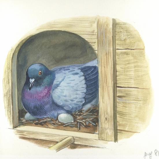 Rock Pigeon Columba Livia Warming Eggs in Nest--Giclee Print