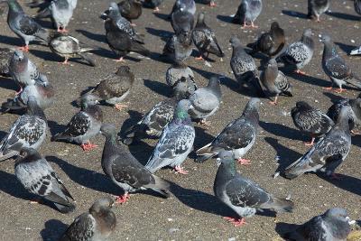Rock Pigeons-Georgette Douwma-Photographic Print