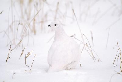 Rock Ptarmigan in Snow--Photographic Print