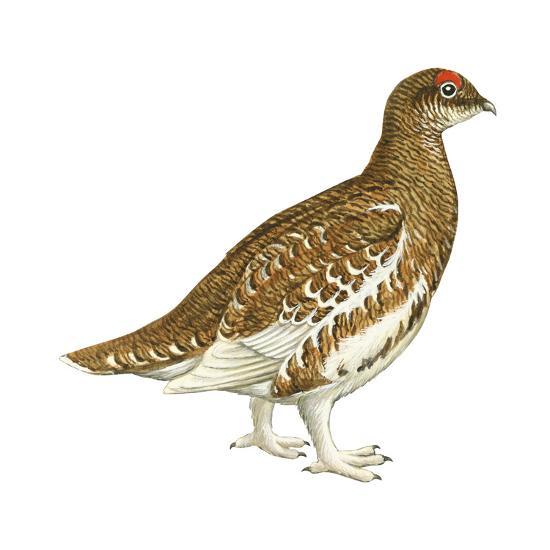 Rock Ptarmigan (Lagopus Mutus), Birds-Encyclopaedia Britannica-Art Print