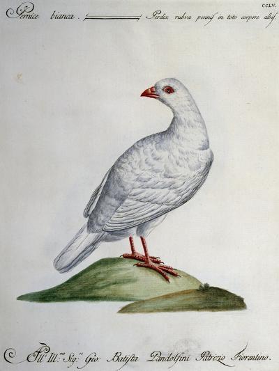 Rock Ptarmigan (Perdix Rubra Pennis in Toto Corpore Albis)--Giclee Print