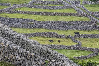 Rock Walls Create Small Paddocks for Sheep and Cattle on Inisheer-Michael Nolan-Photographic Print