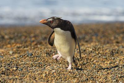 Rockhopper Penguin (Eudyptes Crestatus), Patagonia, Argentina, South America-Pablo Cersosimo-Photographic Print