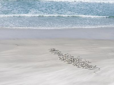 Rockhopper Penguin Landing as a Group, Crossing the Wet Beach-Martin Zwick-Photographic Print