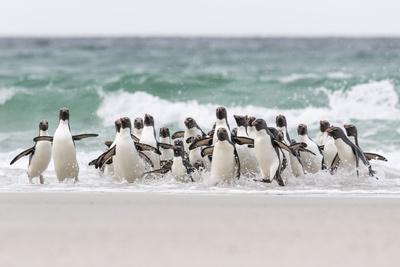 https://imgc.artprintimages.com/img/print/rockhopper-penguin-landing-as-a-group-to-give-individuals-safety_u-l-pyp7m30.jpg?p=0