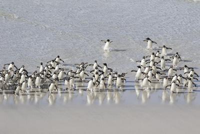 Rockhopper Penguin. Landing as a Group to Give Individuals Safety-Martin Zwick-Photographic Print