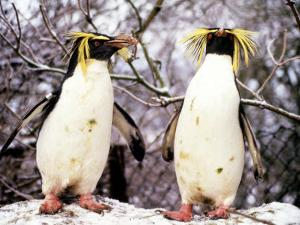 Rockhopper Penguins at Whipsnade Zoo, January 1987