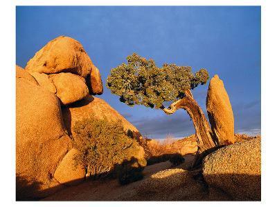Rocking Tree--Art Print