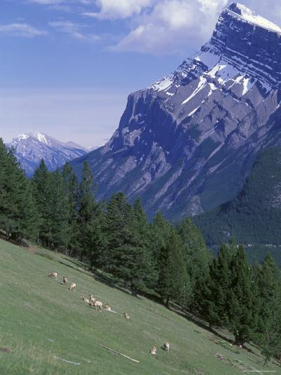 Rocky Mountain Bighorn Sheep and Mount Rundle-Rich Reid-Photographic Print
