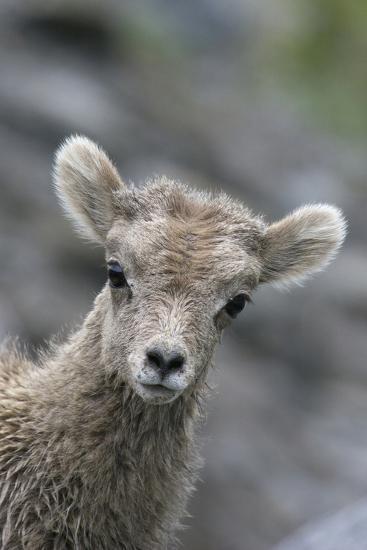 Rocky Mountain Bighorn Sheep Lamb-Ken Archer-Photographic Print