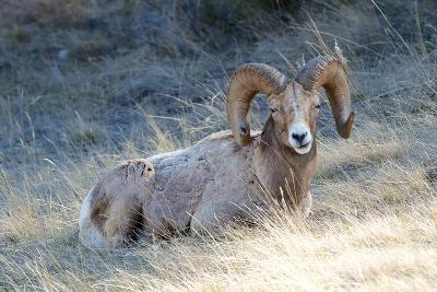 Rocky Mountain Bighorn Sheep, Ovis Canadensis Canadensis, B.C, Canada-Richard Wright-Photographic Print