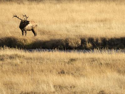 Rocky Mountain Bull Elk Bugling, Cervus Elaphus, Madison River, Yellowstone National Park, Wyoming-Maresa Pryor-Photographic Print