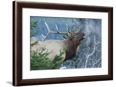 Rocky Mountain Bull Elk Bugling-Ken Archer-Framed Photographic Print