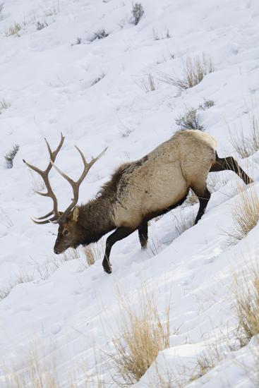 Rocky Mountain Bull Elk, Winter-Ken Archer-Photographic Print