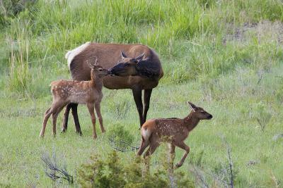 Rocky Mountain Cow Elk and Calf-Ken Archer-Photographic Print