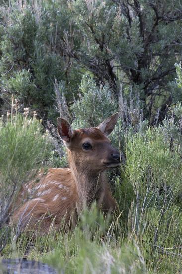 Rocky Mountain Elk Calf-Ken Archer-Photographic Print