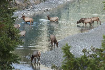 Rocky Mountain Elk Herd Crossing Mountain Stream-Ken Archer-Photographic Print
