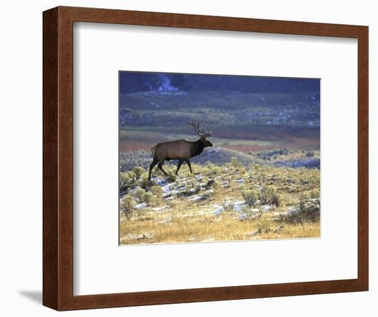 Rocky Mountain Elk, Yellowstone National Park, USA-Mark Hamblin-Framed Photographic Print