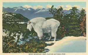Rocky Mountain Goat, Glacier Park, Montana