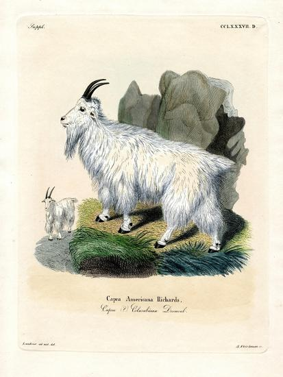 Rocky Mountain Goat--Giclee Print