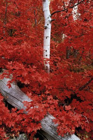 https://imgc.artprintimages.com/img/print/rocky-mountain-maple-trees-and-the-white-bark-of-aspens-in-the-wasatch-national-forest_u-l-q10c9c40.jpg?p=0
