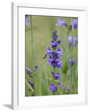 Rocky Mountain Penstemon Being Visited by a Bee, Utah Usa-Tim Fitzharris-Framed Photographic Print