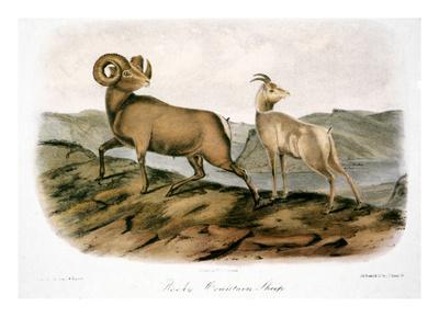 https://imgc.artprintimages.com/img/print/rocky-mountain-sheep-1846_u-l-pglqqs0.jpg?artPerspective=n