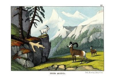 Rocky Mountain Sheep, 1860--Giclee Print