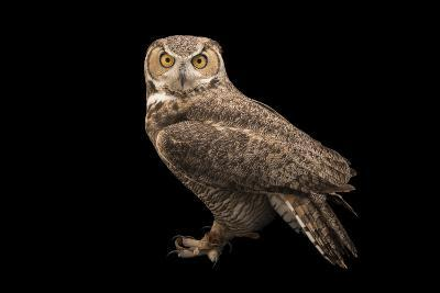 Rocky Mountains Great Horned Owl at Southwest Wildlife Conservation Center-Joel Sartore-Photographic Print